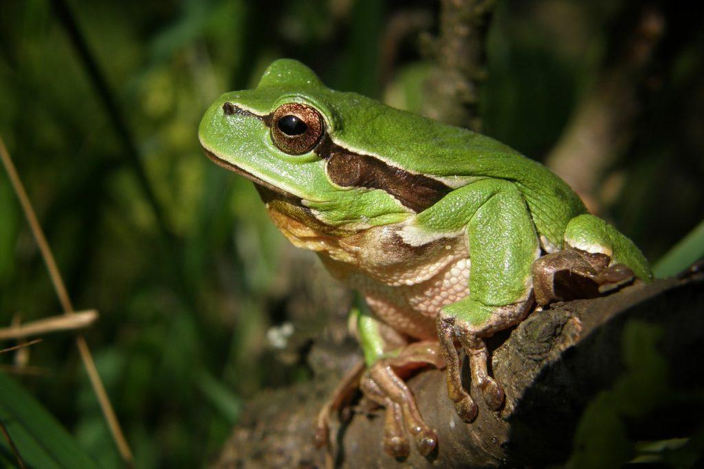 лягушка болото Беларусь swamp frog