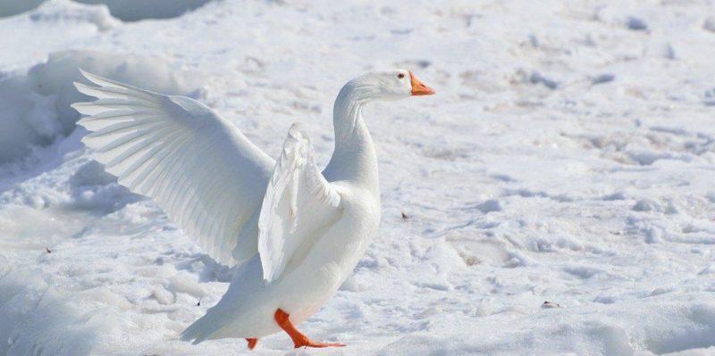 чем кормить лебедей