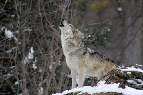беловежская пуща волки