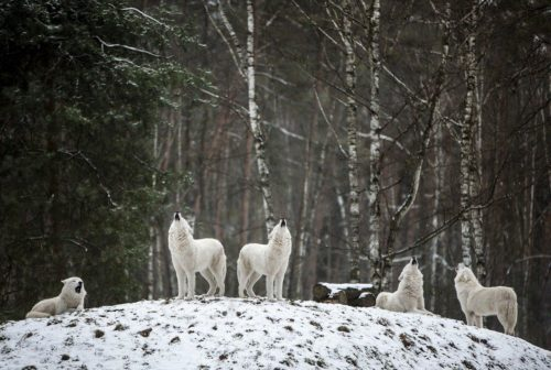 волки лекции