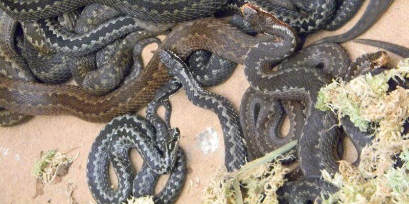Заказник «Выгонощанский» змеи